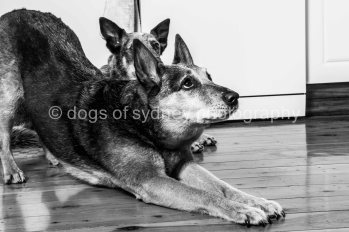 Dogs of Sydney 01 (1 of 13)