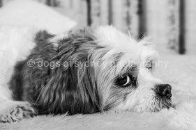 Dogs of Sydney (3 of 14)