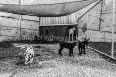 DogsofSydney (7 of 47)